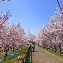 桜の町 寝屋川市/隠れた名所/桜の名所/チューリップ畑/チューリップ/お花見デート/... 昨夜は近所の公園のライトアップを観てきま…(8枚目)