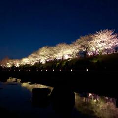 桜の町 寝屋川市/隠れた名所/桜の名所/チューリップ畑/チューリップ/お花見デート/... 昨夜は近所の公園のライトアップを観てきま…(3枚目)