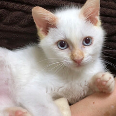 しろねこ/白猫/白ネコ/白ねこ/愛猫/ネコ/... 保護してから1ヶ月が過ぎ、推定生後2ヶ月…