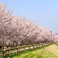 ソメイヨシノ/桜並木/寝屋川/大阪/春/花/... こちらはお昼間。 2018年4月上旬、近…
