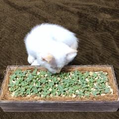 木箱/白ねこ/白ネコ/白猫/子猫/子ネコ/... お魚食べたい…🐟