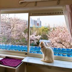 荒ぶるニャンコ/にゃんこ/もうじき満開/お花見/窓からお花見/窓辺の猫/... おはようございます😄 家の裏の桜が大分咲…
