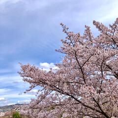 窓辺の風景/窓辺/お花見/花見/桜/さくら/... 投稿し忘れてた今年の桜達🌸 友人と自宅窓…(4枚目)
