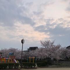 ご近所散策/猫のいる暮らし/猫と暮らす/おにゃん歩/ねこ散歩/猫との暮らし/... まだまだあった近所の桜写真😊   キャン…(10枚目)