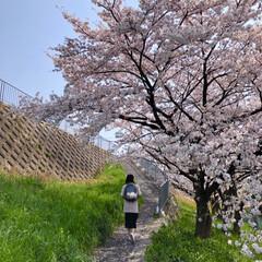 ご近所散策/猫のいる暮らし/猫と暮らす/おにゃん歩/ねこ散歩/猫との暮らし/... まだまだあった近所の桜写真😊   キャン…