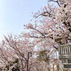 ご近所散策/猫のいる暮らし/猫と暮らす/おにゃん歩/ねこ散歩/猫との暮らし/... まだまだあった近所の桜写真😊   キャン…(6枚目)