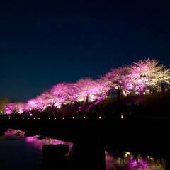 桜の町 寝屋川市/隠れた名所/桜の名所/チューリップ畑/チューリップ/お花見デート/... 昨夜は近所の公園のライトアップを観てきま…(2枚目)