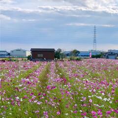 お花畑/花/高槻市/淀川/秋空/風景/... 先週、隣町のコスモスロードを見に行った時…(4枚目)