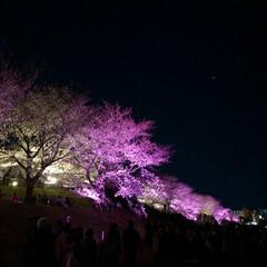 桜の町 寝屋川市/隠れた名所/桜の名所/チューリップ畑/チューリップ/お花見デート/... 昨夜は近所の公園のライトアップを観てきま…(5枚目)