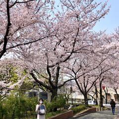 ご近所散策/猫のいる暮らし/猫と暮らす/おにゃん歩/ねこ散歩/猫との暮らし/... まだまだあった近所の桜写真😊   キャン…(5枚目)