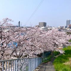 ご近所散策/猫のいる暮らし/猫と暮らす/おにゃん歩/ねこ散歩/猫との暮らし/... まだまだあった近所の桜写真😊   キャン…(3枚目)