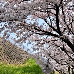 ご近所散策/猫のいる暮らし/猫と暮らす/おにゃん歩/ねこ散歩/猫との暮らし/... まだまだあった近所の桜写真😊   キャン…(2枚目)