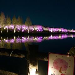 桜の町 寝屋川市/隠れた名所/桜の名所/チューリップ畑/チューリップ/お花見デート/... 昨夜は近所の公園のライトアップを観てきま…(7枚目)