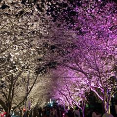 桜の町 寝屋川市/隠れた名所/桜の名所/チューリップ畑/チューリップ/お花見デート/... 昨夜は近所の公園のライトアップを観てきま…(6枚目)