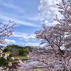 窓辺の風景/窓辺/お花見/花見/桜/さくら/... 投稿し忘れてた今年の桜達🌸 友人と自宅窓…(2枚目)