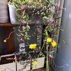 多肉植物がある暮らし/植物のある暮らし/植物/植中毒/ワッツ/棚/... 先日、寝室窓辺に多肉植物の温室を作ってみ…(4枚目)