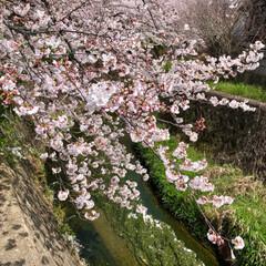 ご近所散策/猫のいる暮らし/猫と暮らす/おにゃん歩/ねこ散歩/猫との暮らし/... まだまだあった近所の桜写真😊   キャン…(8枚目)