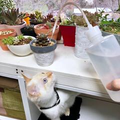 なめ猫/水やり/多肉仲間募集中/猫のいる暮らし/猫と暮らす/多肉植物のある暮らし/... 普段多肉ちゃんに水遣りをしている水差しで…(3枚目)