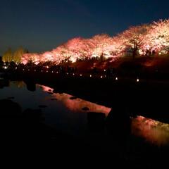 桜の町 寝屋川市/隠れた名所/桜の名所/チューリップ畑/チューリップ/お花見デート/... 昨夜は近所の公園のライトアップを観てきま…(4枚目)