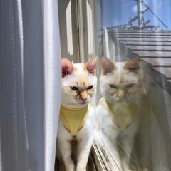 藤棚/藤の花/猫のいる暮らし/猫と暮らす/猫との生活/春のフォト投稿キャンペーン/... 最近のテトさんとGW初日のお出かけで偶然…(2枚目)
