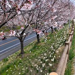 スイセン/水仙/お花見/さくら/桜/猫のいる暮らし/... 近所の公園の桜並木🌸 毎年、見頃にライト…
