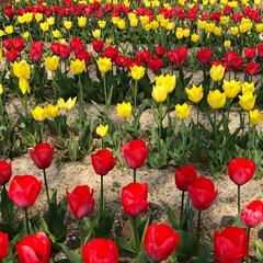 桜の町 寝屋川市/隠れた名所/桜の名所/チューリップ畑/チューリップ/お花見デート/... 昨夜は近所の公園のライトアップを観てきま…(10枚目)