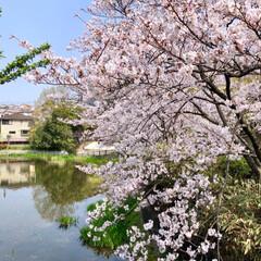ご近所散策/猫のいる暮らし/猫と暮らす/おにゃん歩/ねこ散歩/猫との暮らし/... まだまだあった近所の桜写真😊   キャン…(4枚目)