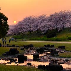夕景/春/寝屋川/大阪/公園/風景/... もうシーズンは終わってしまったけれど桜の…(1枚目)