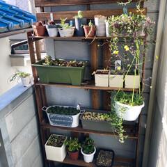 多肉植物がある暮らし/植物のある暮らし/植物/植中毒/ワッツ/棚/... 先日、寝室窓辺に多肉植物の温室を作ってみ…(3枚目)