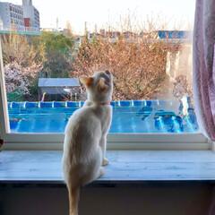 窓辺/猫と暮らす/猫のいる暮らし/LIMIAペット同好会/ペット/猫/... 今朝のテト店長💕  カラスが気になって忙…