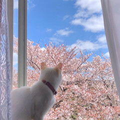 窓辺の風景/窓辺/お花見/花見/桜/さくら/... 投稿し忘れてた今年の桜達🌸 友人と自宅窓…