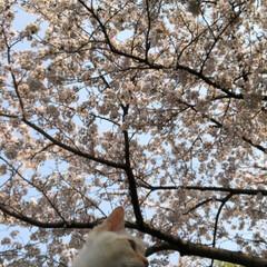 ご近所散策/猫のいる暮らし/猫と暮らす/おにゃん歩/ねこ散歩/猫との暮らし/... まだまだあった近所の桜写真😊   キャン…(9枚目)
