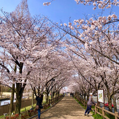 桜の町 寝屋川市/隠れた名所/桜の名所/チューリップ畑/チューリップ/お花見デート/... 昨夜は近所の公園のライトアップを観てきま…(9枚目)