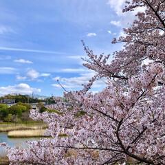 窓辺の風景/窓辺/お花見/花見/桜/さくら/... 投稿し忘れてた今年の桜達🌸 友人と自宅窓…(3枚目)