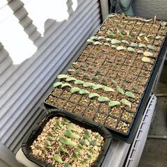 多肉植物がある暮らし/植物のある暮らし/植物/植中毒/ワッツ/棚/... 先日、寝室窓辺に多肉植物の温室を作ってみ…(5枚目)