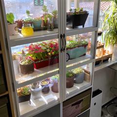 多肉植物がある暮らし/植物のある暮らし/植物/植中毒/ワッツ/棚/... 先日、寝室窓辺に多肉植物の温室を作ってみ…