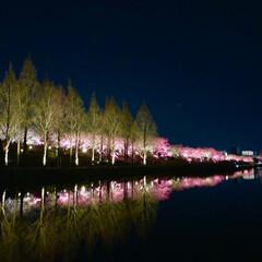 桜の町 寝屋川市/隠れた名所/桜の名所/チューリップ畑/チューリップ/お花見デート/... 昨夜は近所の公園のライトアップを観てきま…