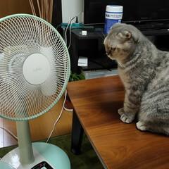 LIMIAペット同好会/にゃんこ同好会 扇風機の前で涼み中😺(1枚目)