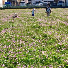 子どもも大人も大興奮!/レンゲにダイブ/レンゲ畑解放/レンゲ畑/春のフォト投稿キャンペーン/春/... 今年もレンゲ畑が解放されたので、 新1年…