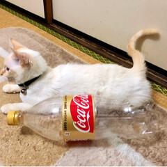 保護猫/そっくり?ww/ペットボトル/テト/白猫/LIMIAペット同好会/... テトちゃん、 何かに似てると思ったら、 …