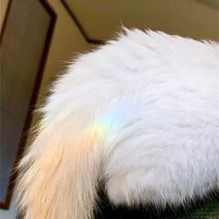 猫のいる暮らし/虹/子猫/白猫/ペット/猫 テトが虹ってる🌈  休日の朝、テトとベッ…(2枚目)