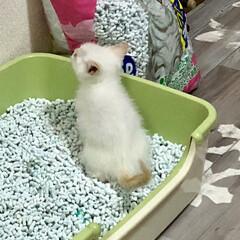 成長記録/保護猫/白猫/テト/令和元年フォト投稿キャンペーン/LIMIAペット同好会/... トイレ中の姿がとても可愛らしくてカメラを…