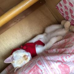 おやすみなさい/寝てる猫/テト/白ねこ/保護猫/令和元年フォト投稿キャンペーン/... テトの寝姿、第1弾!  少しずつ時を遡り…