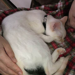 甘えん坊さん/おやすみなさい/寝てる猫/テト/白ねこ/保護猫/... テトの寝姿、第2弾!  1枚目の写真は私…