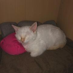 甘えん坊さん/おやすみなさい/寝てる猫/テト/白ねこ/保護猫/... テトの寝姿、第5弾!  小さい時の写真、…