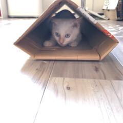 トンネル/白猫/子猫/お気に入り/遊び場所/ペット/... テトお気に入りの箱シリーズ✨ 三段ボック…(1枚目)
