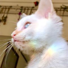 猫のいる暮らし/虹/子猫/白猫/ペット/猫 テトが虹ってる🌈  休日の朝、テトとベッ…(1枚目)