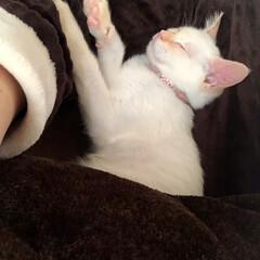 甘えん坊さん/おやすみなさい/寝てる猫/テト/白ねこ/保護猫/... テトの寝姿、第3弾!  すっかり仔猫にな…