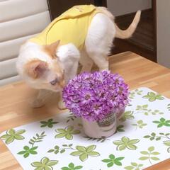 術後服やからダサくてもしゃあないねん/猫/ペット/デート/お花畑デート/花束/... 先日のレンゲ畑が更に満開になってる!とダ…(3枚目)