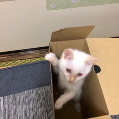 白猫/子猫/空箱/お気に入り/遊び場所/ペット/... お気に入りの箱その3 靴が入っていた箱🗃…